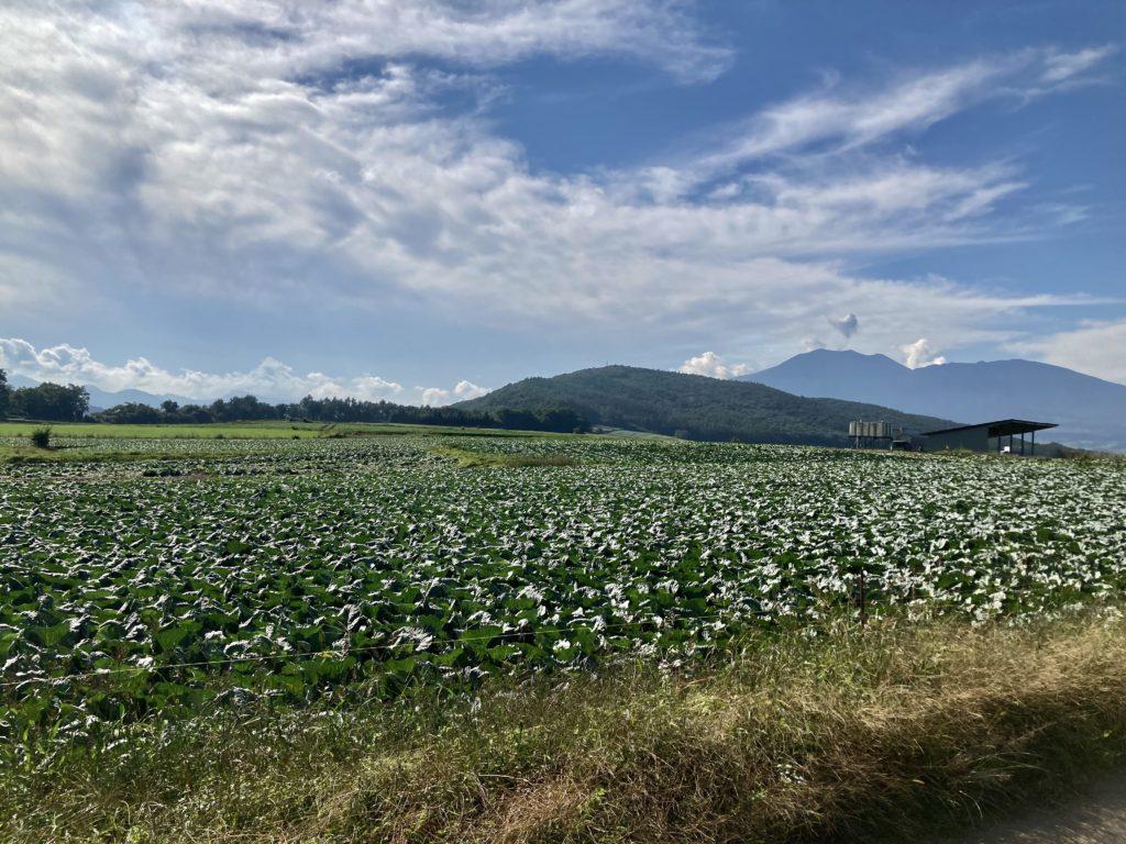 幌馬車くんと行くパルコール嬬恋へのつまごいパノラマラインのキャベツ畑の風景