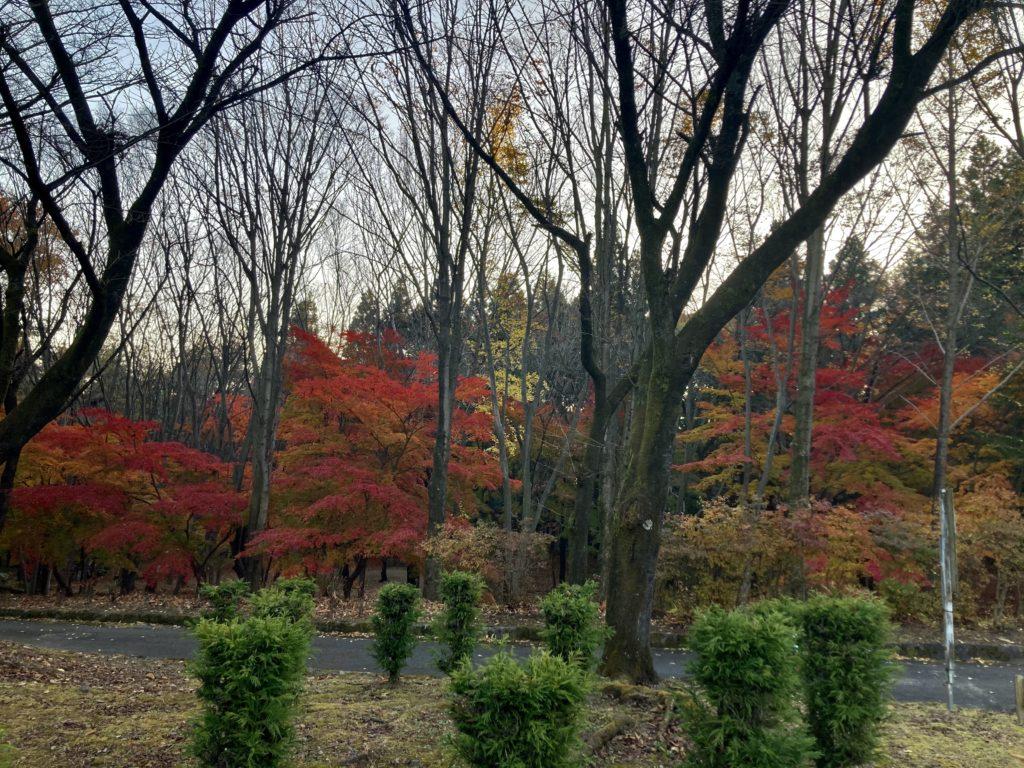 渋川市総合公園キャンプ場のテントサイトの紅葉