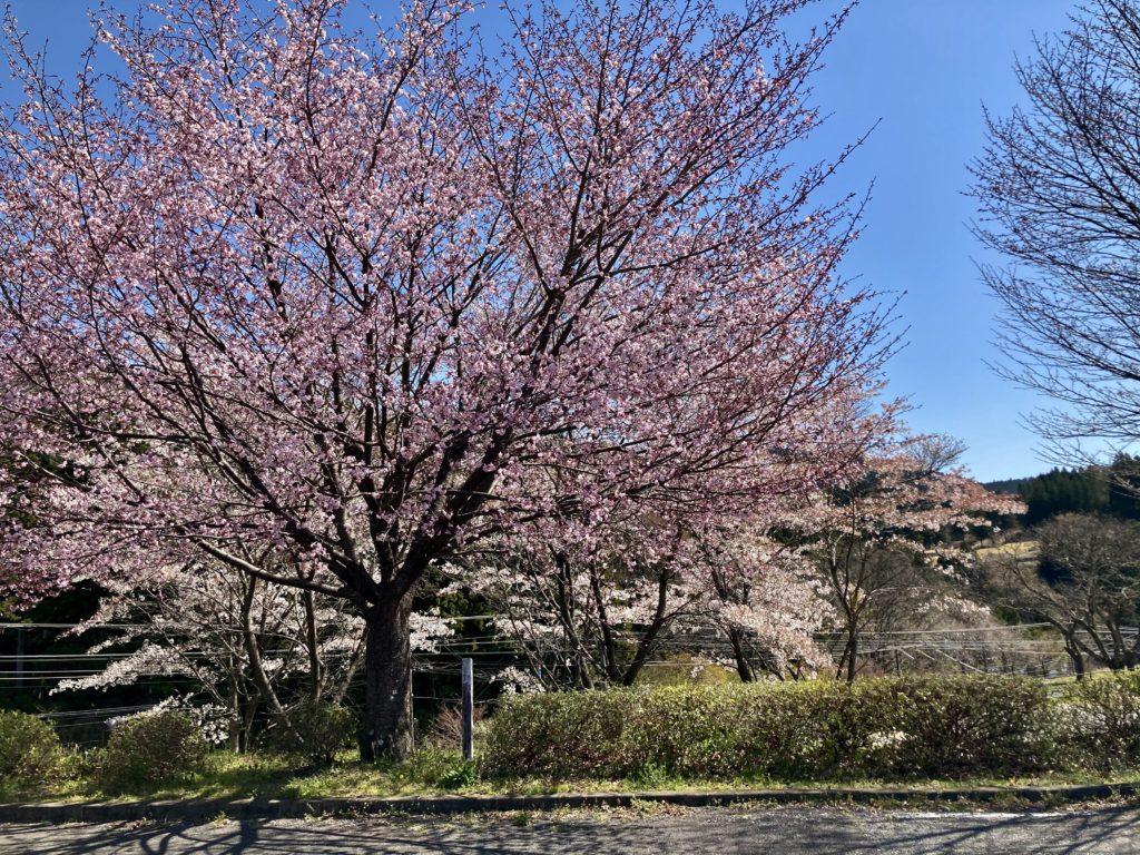 幌馬車くんで行く碓氷峠の森公園交流館「峠の湯」車中泊と4月中旬の桜