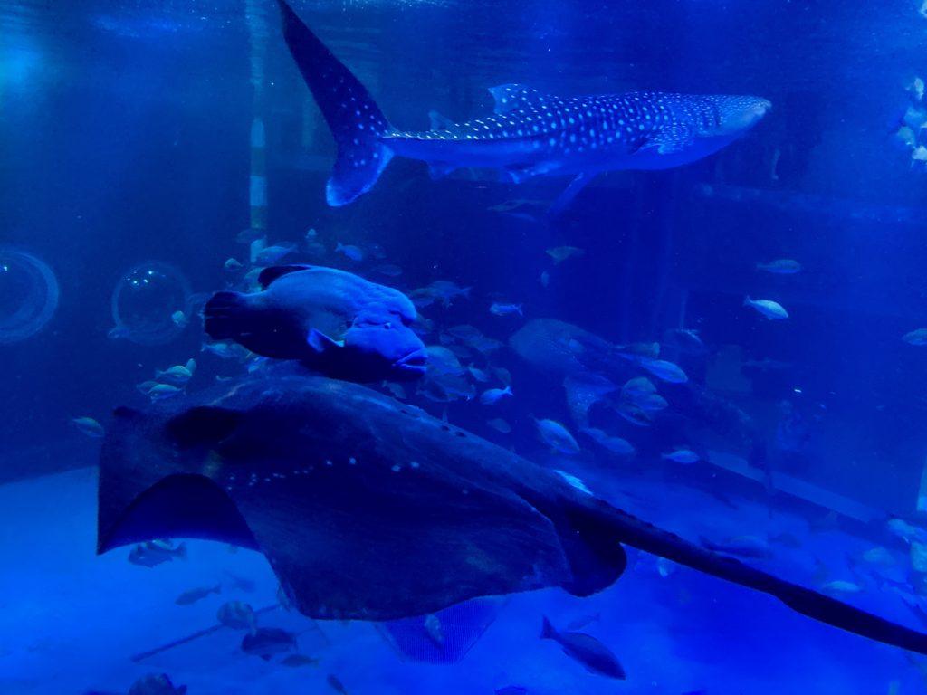のとじま水族館の巨大水槽とジンベイザメ