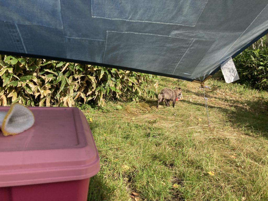 志賀高原の木戸池キャンプ場でたぬきがいました