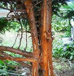 犬小屋の木