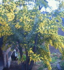 アカシアの木